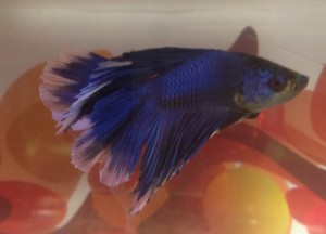 Office Mascot - Bruce the Beta Fish